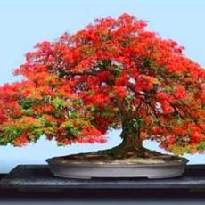menyuburkan-pokok-bonsai