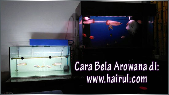 Cara Bela Arowana Super Red & Kek Butter Red Valvet Super Moist